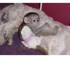 Súper Excelente monos capuchinos Disponible